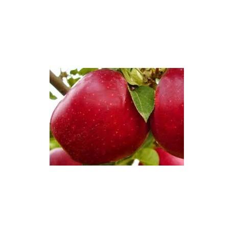 Яблуня Джероміні